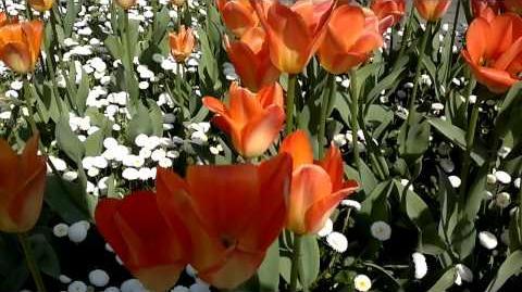 "Fosteriana-Tulpe ""Orange Kaiser"" (Tulipa fosteriana) im Botanischen Garten Augsburg - 24. April 2014"