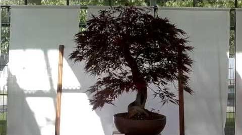 Roter Fächerahorn (Acer palmatum ornatum) Bonsai – im Botanischen Garten Augsburg – 22. Juni 2013