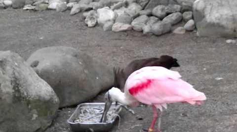 Rosalöffler mögen kleine Fische fressen im Zoo Augsburg - 01. April 2014
