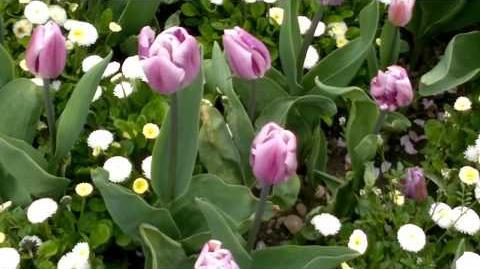 """Triumph-Tulpen """"Flaming Flag"""" (Tulipa) im Botanischen Garten Augsburg - 30. April 2013"""