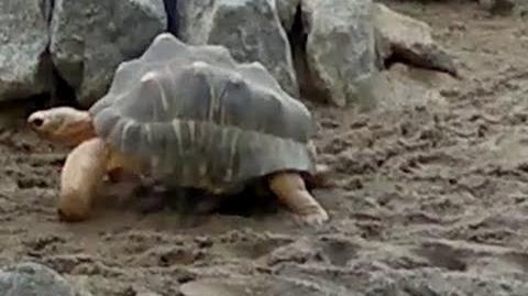 Strahlenschildkröte (Astrochelys radiata) im Zoo München - 22. Februar 2014