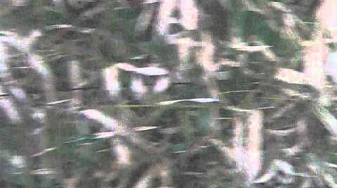 Bambus (Fargesia spec.) im Botanischen Garten in Augsburg - 15. Mai 2012