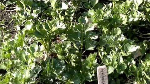 Echter Sellerie (Apium graveolens) im Botanischen Garten Augsburg - 06. August 2013