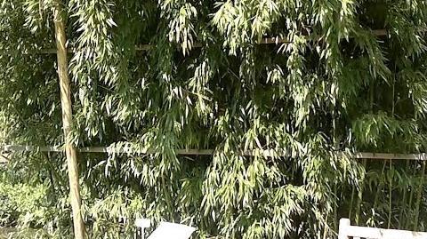 Phyllostachys aureosulcata - Bambus-Art - im Botanischen Garten Augsburg