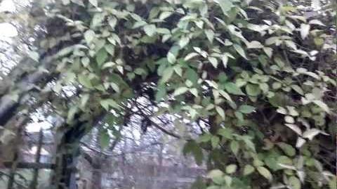 """Berg-Waldrebe """"Rubens"""" (Clematis montana) im Botanischen Garten Augsburg -21. November 2012"""