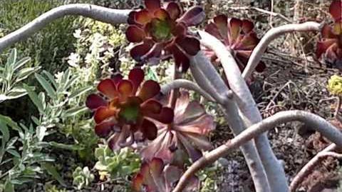 Aeonium arboreum 'Atropurpureum' im Botanischen Garten Augsburg - 06. August 2013