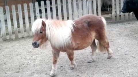 Zwergpony (Equus caballus domesticus) im Zoo Augsburg - 20. April 2013