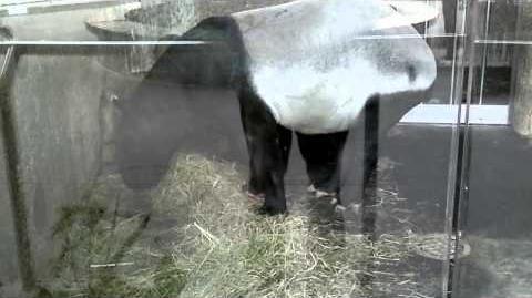 Schabrackentapir (Tapirus indicus) im Zoo München - 22. Februar 2014