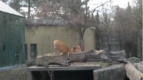 Löwe (Panthera leo) im Augsburger Zoo - 18. März 2012