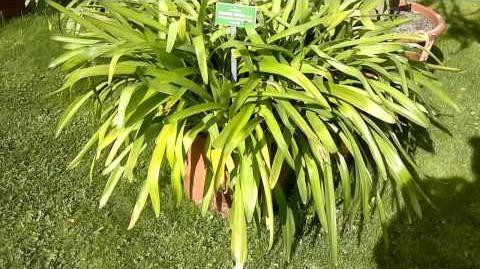 Afrikanische Schmucklilie (Agapanthus africanus) im Botanischen Garten Augsburg - 21. Mai 2013