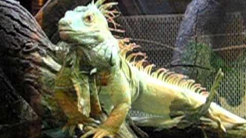 Grüne Leguan (Iguana iguana) 22. Januar 2012 - wenig beweglich
