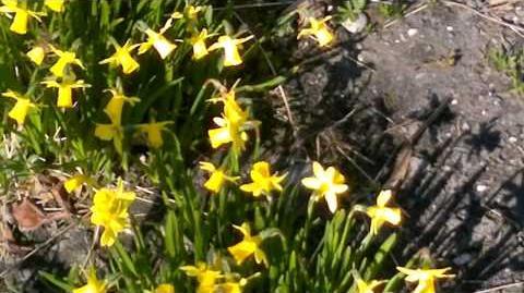 """Alpenveilchen-Narzisse """"Tète à Tète"""" (Narcissus cyclamineus) im Botanischen Garten Augsburg - 28. März 2014"""