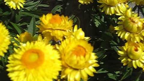 """Strohblume """"Totally Yellow"""" (Bracteantha bracteata) im Botanischen Garten in Augsburg - 5. Juni 2012"""