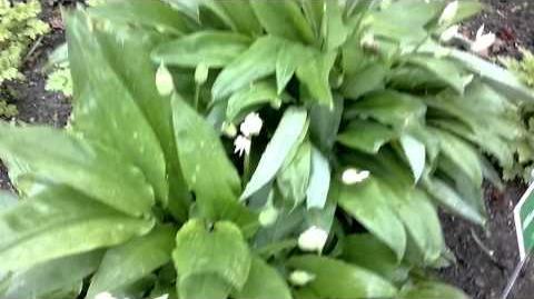 Bärlauch (Allium ursinum) im Botanischen Garten Augsburg - 19. April 2014