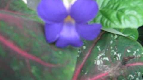 Blaue Susanne (Thunbergia battiscombei) im Botanischen Garten Augsburg - 20. Juni 2012