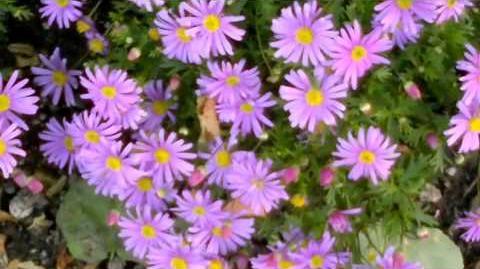 """Blaues Gänseblümchen """"Brasco Violet"""" (Brachyscome multifida) im Botanischen Garten Augsburg - 15. Juni 2013"""