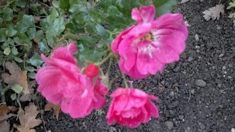 """Bodendeckerrose """"Heidetraum"""" - Noack 1988, ADR-Rose 1990 im Botanischen Garten Augsburg - 15. November 2013"""