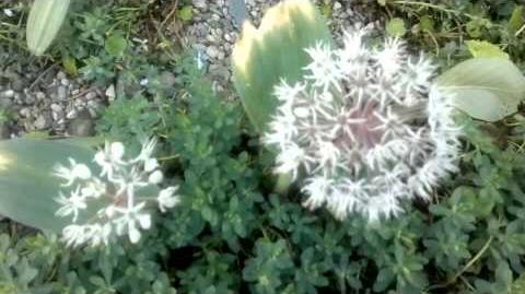 Blauzungenlauch (Allium karataviense) im Botanischen Garten Augsburg - 04. Juni 2013