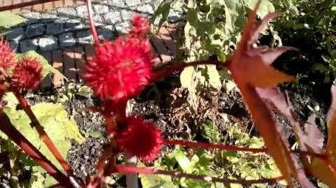Wunderbaum (Ricinus communis) im Botanischen Garten Augsburg - 16. August 2013
