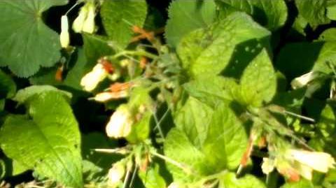 "Großblatt-Phlox ""David"" (Phlox amplifolia) im Botanischen Garten Augsburg"