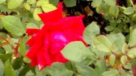 """Edelrose """"Burgund 81"""" im Botanischen Garten Augsburg - 14. September 2013"""