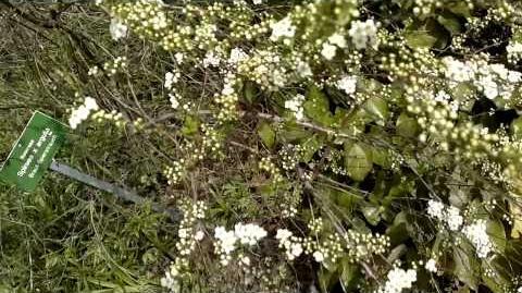 Braut-Spierstrauch (Spiraea x arguto)(blühend) im Botanischen Garten Augsburg - 03. April 2014