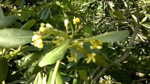Chinesische Klebsame (Pittosporum tobira) im Botanischen Garten Augsburg - 14. Mai 2013