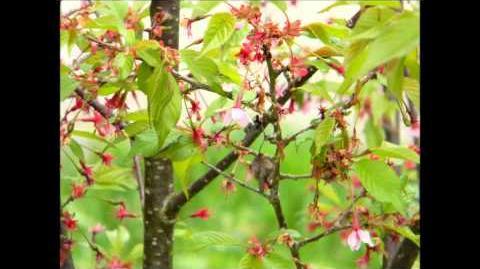 "FOTOVIDEO Zierkirsche ""Okame"" (Prunus-Cultivars) im Botanischen Garten Augsburg"