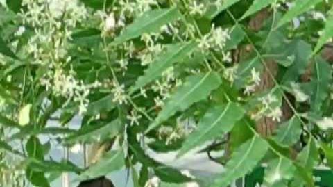 Burma-Nimbaum (Azadirachta indica) im Botanischen Garten in Augsburg - 21. Mai 2012