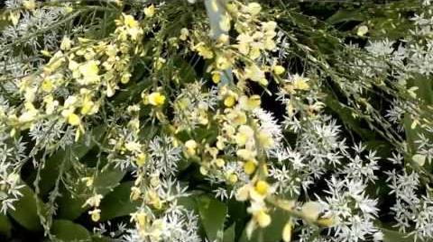 Elfenbeinginster (Cytisus × praecox) im Botanischen Garten Augsburg - 21. Mai 2013