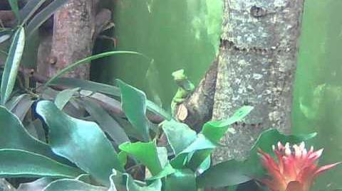 Fidschileguan (Brachylophus fasciatus) im Zoo Augsburg - 14. November 2012