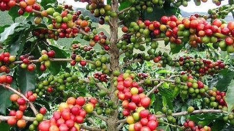 Arabica-Kaffee, Bergkaffee oder Javakaffee (Coffea arabica) mit Kaffeekirschen - 30. November 2013