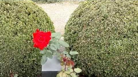 """Edelrose """"Red Star"""" im Botanischen Garten Augsburg - 14. September 2013"""