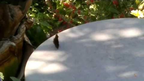Tagpfauenauge (Inachis io)(Schmetterling) im Botanischen Garten Augsburg - 26. Juli 2013