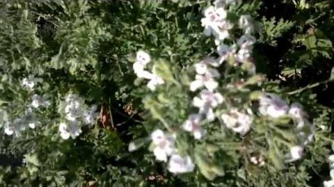 Duft-Pelargonie (Pelargonium blandfordianum)(Blüten) im Botanischen Garten Augsburg - 26. Juli 2013