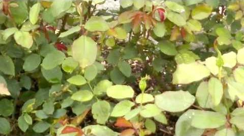 Edelrose 'Noack's Überraschung' im Botanischen Garten Augsburg - 14. September 2013
