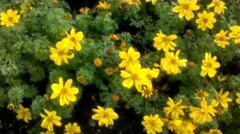 """Gold-Zweizahn """"Yellow Sunshine"""" (Bidens ferulifolia) im Botanischen Garten Augsburg"""