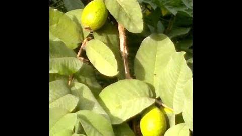Zitronenbaum (Citrus × limon) im Botanischen Garten Augsburg - 26. Oktober 2013