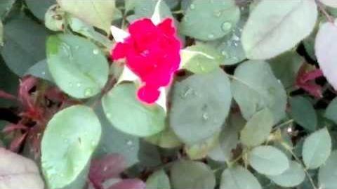 """Edelrose """"Erotika"""" - ADR-Rose 1969 - im Botanischen Garten Augsburg - 14. September 2013"""