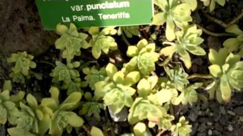 Aichryson laxum im Botanischen Garten Augsburg - 06. August 2013
