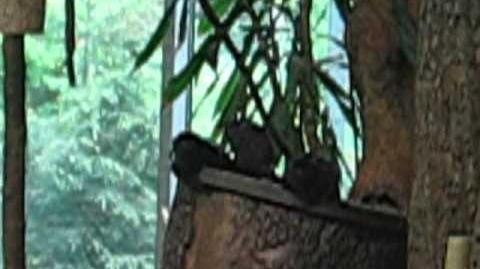 Springtamarin (Callimico goeldii) im Zoo Augsburg - 18. Mai 2012