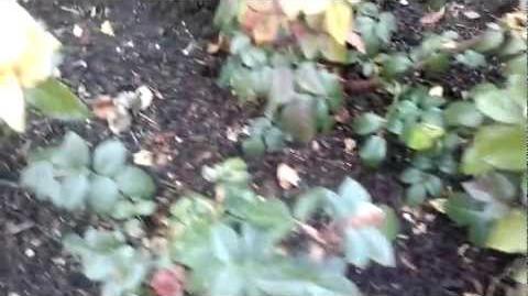 Bernstein Rose, Beetrosen (Rosaceae) im Botanischen Garten Augsburg - 21. November 2012