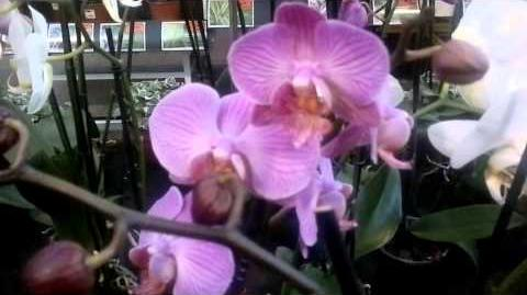 Falterorchidee (Mini phalaenopsis) - Augsburg - 30. September 2013