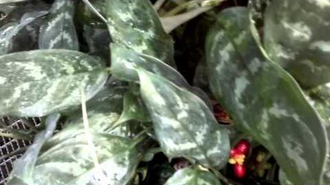 "Kolbenfaden ""Treubii"" (Aglaonema commutatum var. robustum) im Botanischen Garten Augsburg - 15. Februar 2014"