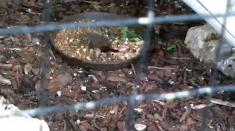 Blaukehlchen (Luscinia svecica) im Zoo Augsburg - 20. April 2013