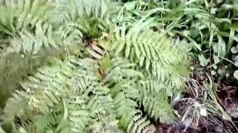 Weicher Schildfarn (Polystichum setiferum) im Botanischen Garten Augsburg - 19. April 2014