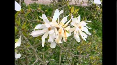 FOTOVIDEO Sternmagnolie (Magnolia stellata) im Botanischen Garten Augsburg