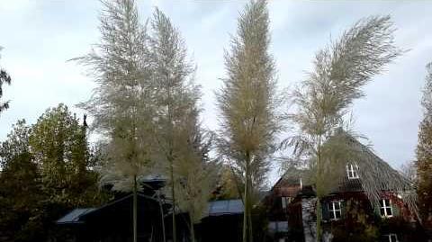 """Amerikanisches Pampasgras """"Sunningdale Silver"""" mit weiß/silbriger Rispe im Bot. Garten Augsburg - 26. Oktober 2013"""
