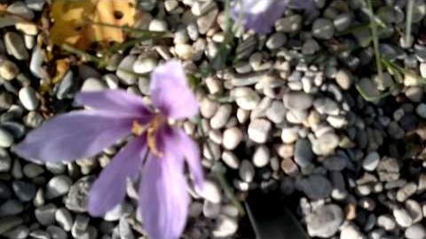 Echter Safran-Krokus (Crocus sativus) im Botanischen Garten Augsburg - 26. Oktober 2013