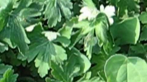 Balkan-Storchschnabel (Geranium macrorrorrhizum L.) im Botanischen Garten in Augsburg - 04. Mai 2012